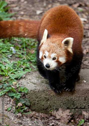 Red Panda running on the ground