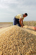 Harvest of soy, worker at trailer with soybean