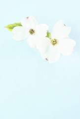 White Dogwood On Blue Background