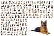 berger allemand et groupe de chiens de race