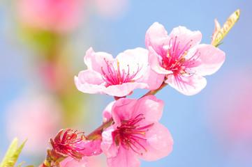 Pfirsichblüten im Sonnenschein