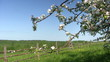 Branch of blooming apple tree with  wooden fence