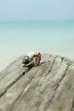 hermit crab, A hermit crab on a wood by the sea. poster
