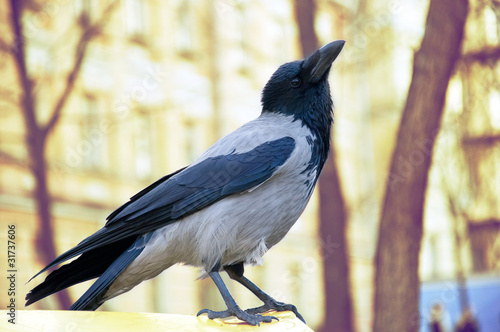 canvas print picture Bird crow close-up