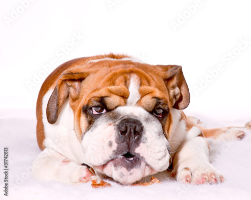 English Bulldog, British Bulldog, puppy