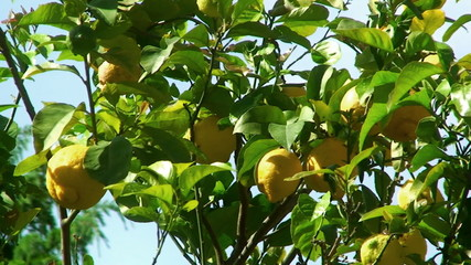 Lemon tree detail