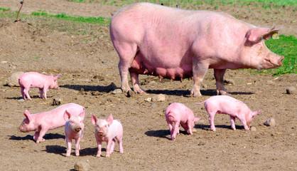 Schweine III
