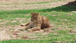 Lioness female lion feline watching resting