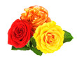 Red and yellow roses isolated on white