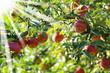 Äpfel 123