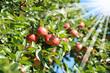 Äpfel 124