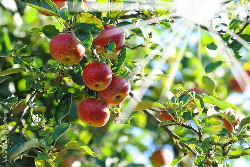 Äpfel 122
