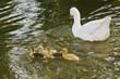 Familia de ocas