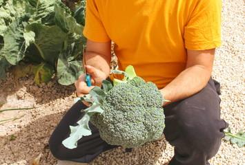 cosecha de brocoli