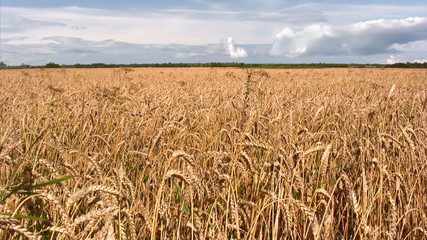 Field of golden ripe wheat under  blue sky.