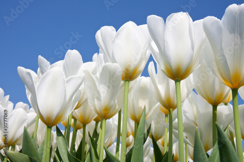 Beautiful white tulips looking to the sky