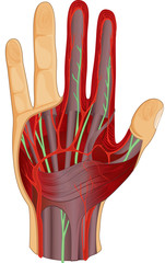 circulatory system in hand