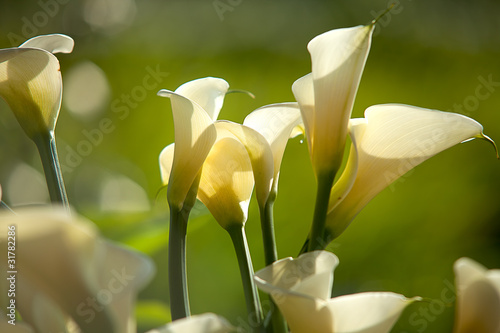 Calla Lily with black background