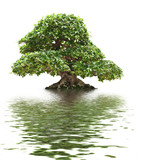 Ficus bonsai with water reflection