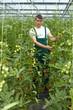 Landwirt zwischen Tomatenpflanzen