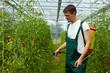Bauer spritzt Tomatenpflanzen