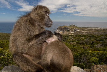 Monkeys on the Cape of Good hope, Cape Town