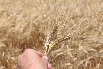 Tenir un épi de blé