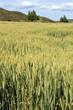 Cereal plantation Gudar mountains Teruel province Aragon Spain