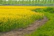 paesaggio campi colza 1696