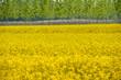 paesaggio campi colza 1697