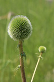 Green thistle