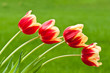 Four red and yellow tulips on green background