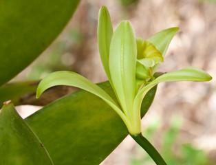 fleur de vanille Bourbon