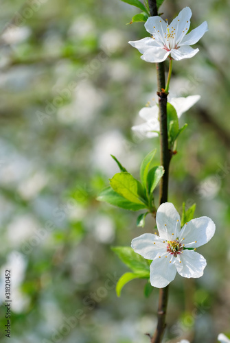cherry branch with flowers