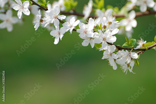 blooming cherry flowers on green