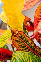 feuilles de Croton
