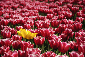 lonely yellow tulip in field of red tulips