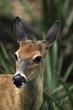 White-Tailed Deer (Odocoileus Virginianus), Los Angeles, Usa