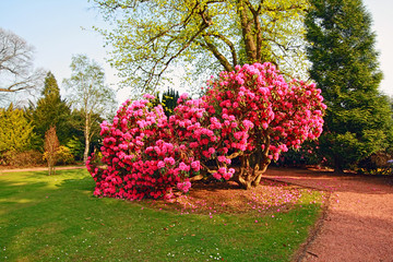 Beautiful, old park with azalea trees