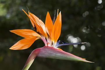 Strelitzia,  bird of paradise flower,  crane flower.