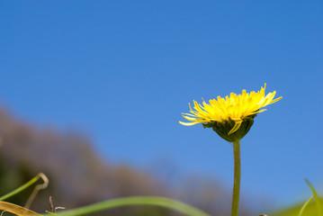 タンポポの花と青空