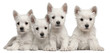 Four West Highland Terrier puppies, 7 weeks old
