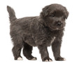 Pyrenean Shepherd puppy, 4 weeks old,
