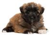 Pyrenean Shepherd puppy, 4 weeks old,