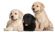 Three Labrador puppies, 7 weeks old,