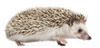 Four-toed Hedgehog, Atelerix albiventris, 6 months old,