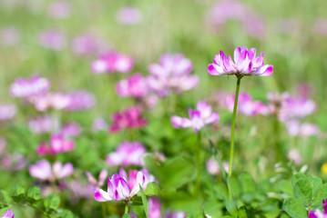 ゲンゲのお花畑