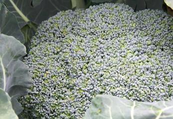 Brócoli (Brassica oleracea italica)