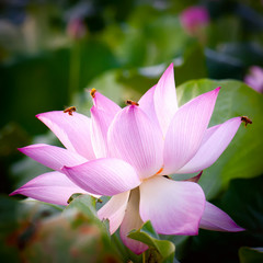 Lotus flower(Hindu Lotus)