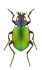 Calosoma sycophanta